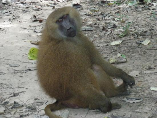 babouin à Makasutu