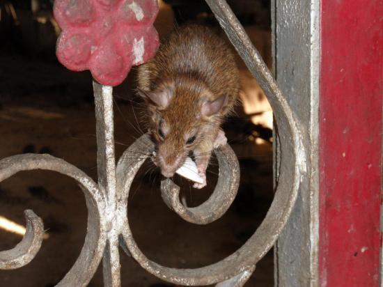 temple des rats sacrés de Deschnoke