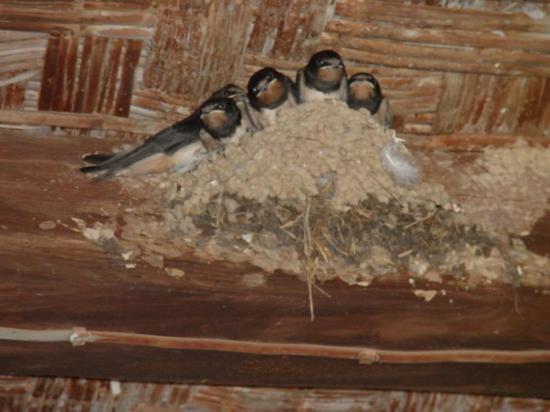 nid d'hirondelles